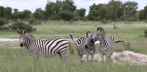 playful zebra grazing