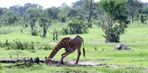 Giraffe Takes Drink at the Pan