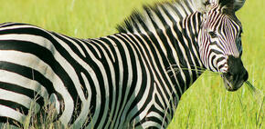 zebra closeup with a mouth full of grass